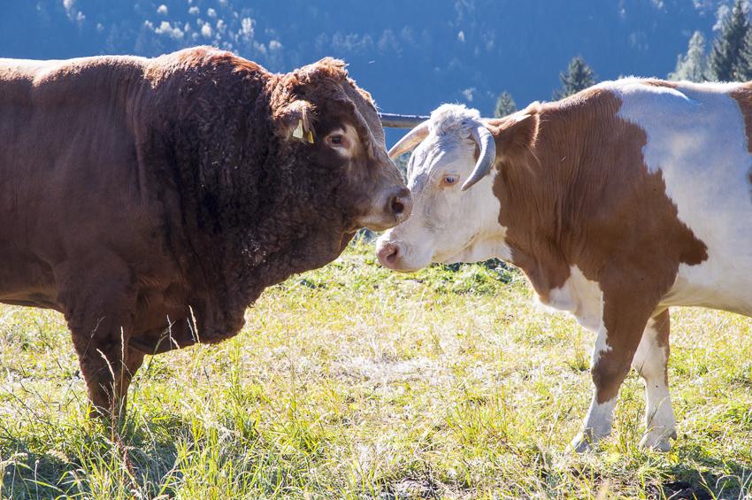 26. FREILAND-Tagung, Mutterkuhhaltung, Mutterkuh, Stier, Weide