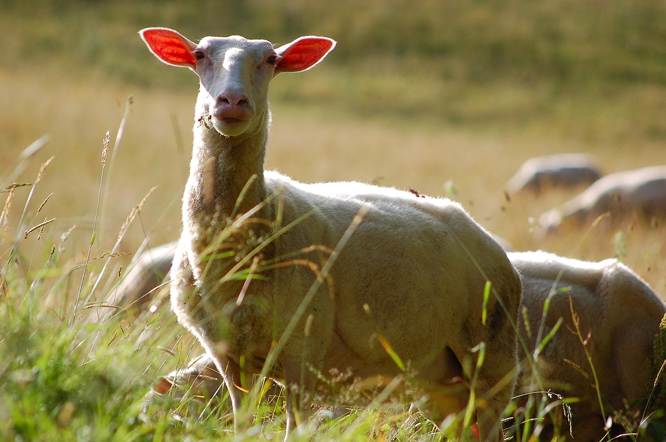 Bio-Landwirtschaft Schaf Weide Freiland Verband
