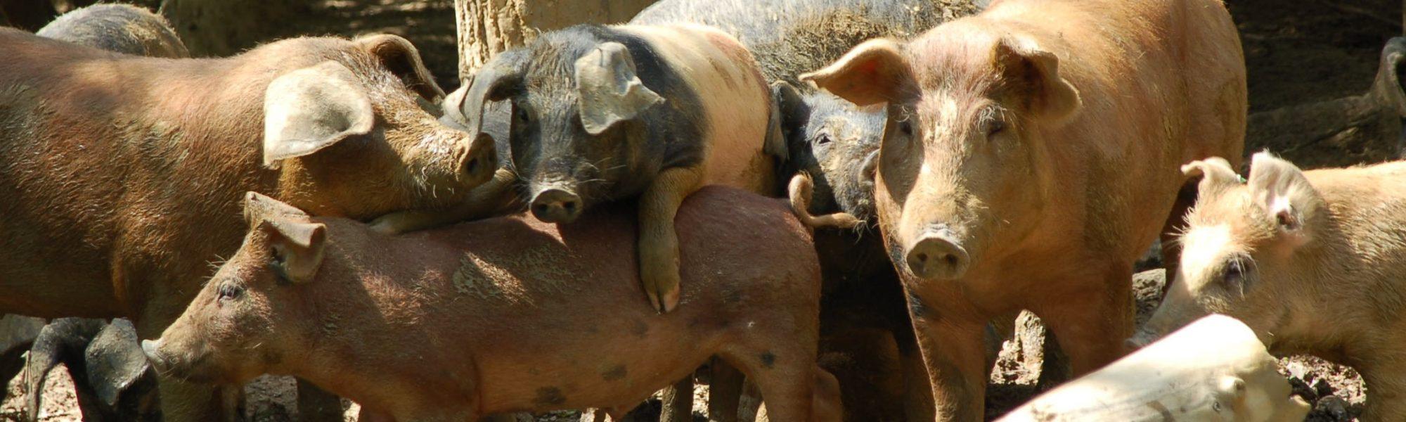 Bio-Landwirtschaft Freilandhaltung Schweine Freiland Verband