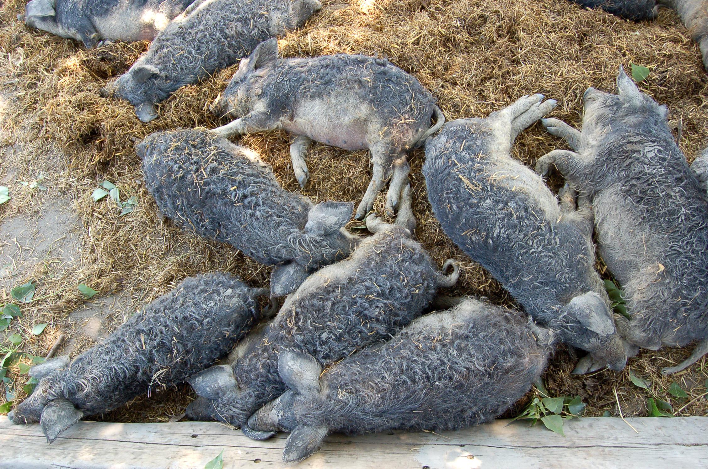 Artgerechte Tierhaltung von Schweinen