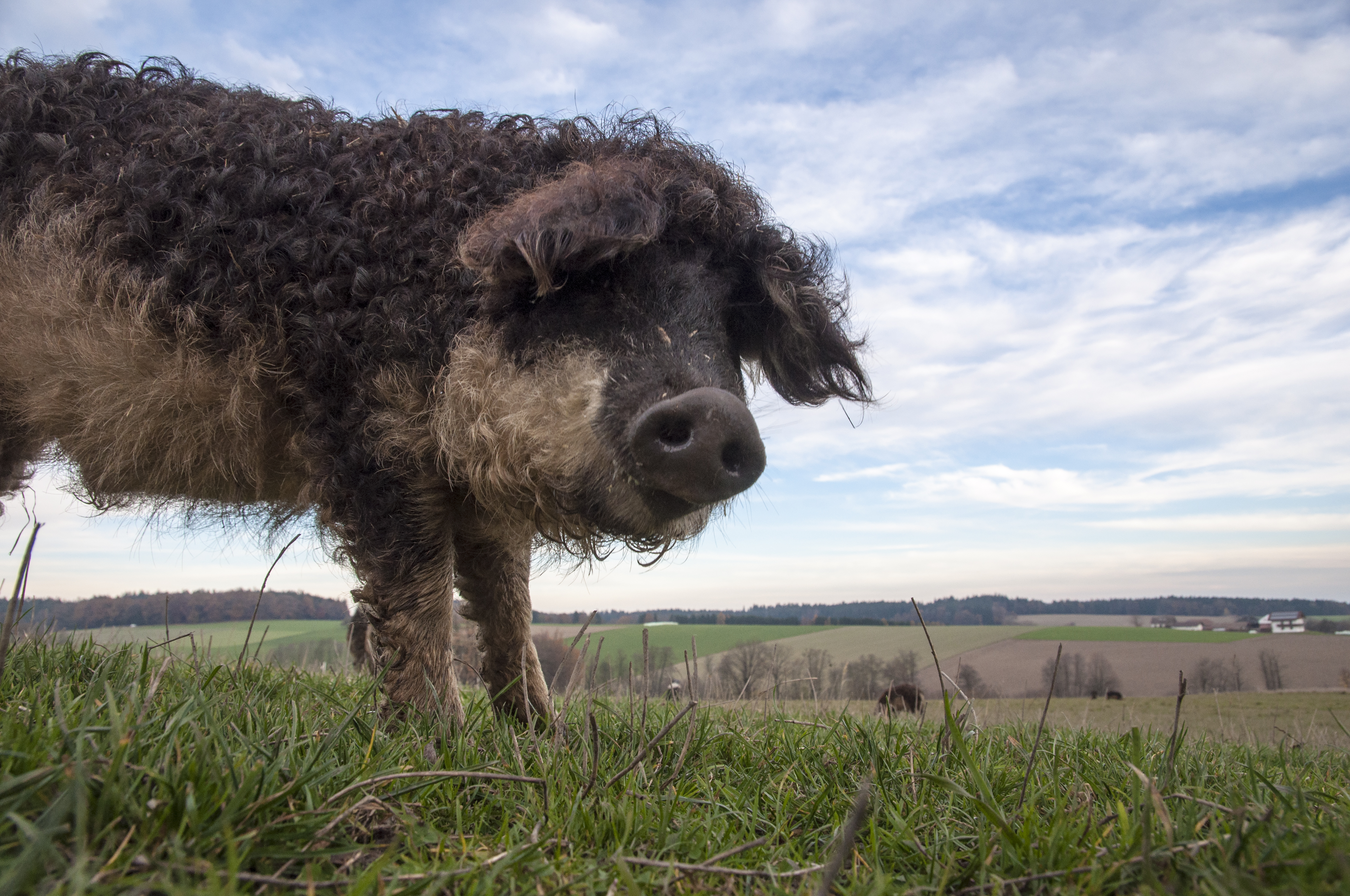 Freiland Verband, Nutztierhaltung, Freilandhaltung, Mangalitza, Schwein, Wollschwein im freien
