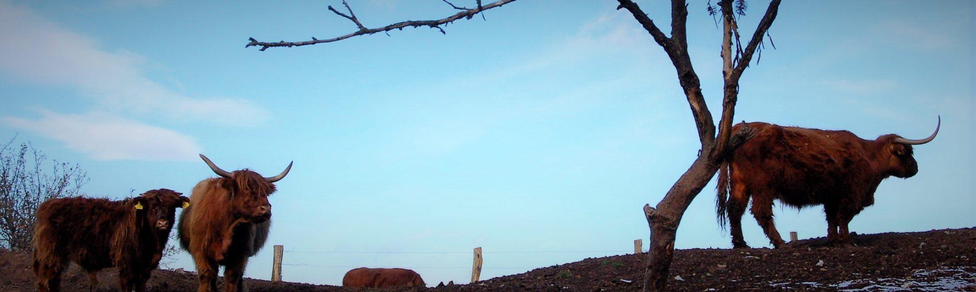 Freiland-Richtlinien Hochlandrinder Freilandhaltung