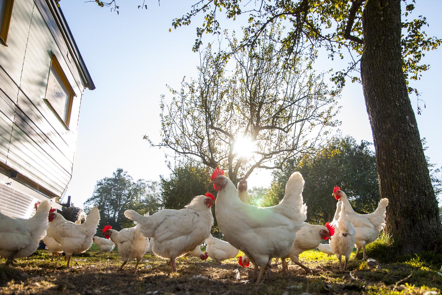 Freiland-Richtlinien Legehennen Sandy Freilandhaltung Freiland-Eier