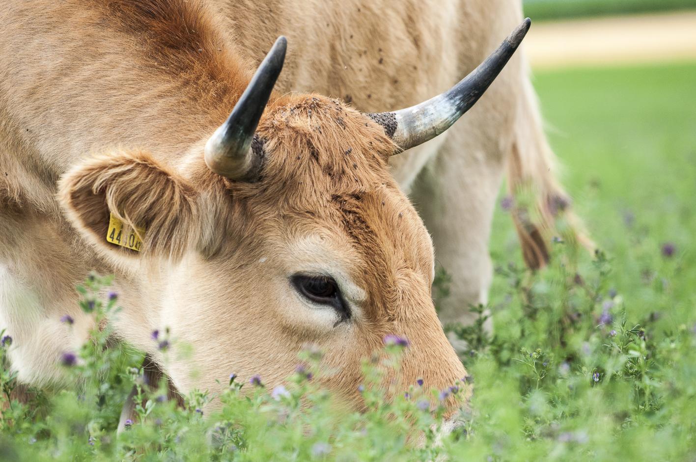 Freiland Verband Anliegen Bio-Nutztierhaltung Bio-Rind Mutterkuh Luzerne AubracTierhaltung